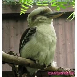 Kookaburra madarak a budapesti állatkertben